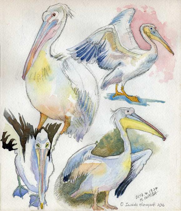 Pelican02_2