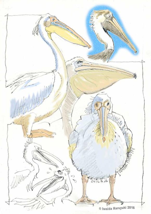 Pelican04