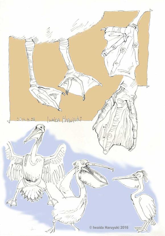 Pelican05_3